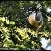 RK3_04140  First I saw the nuthatch