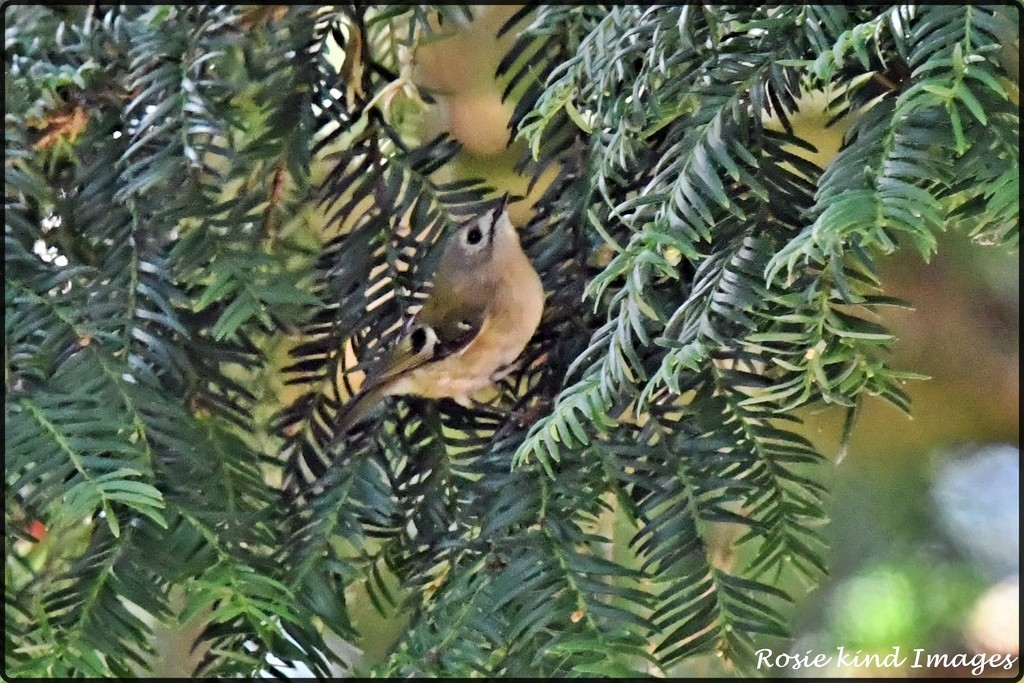 RK3_0420  And then I saw the goldcrest by rosiekind