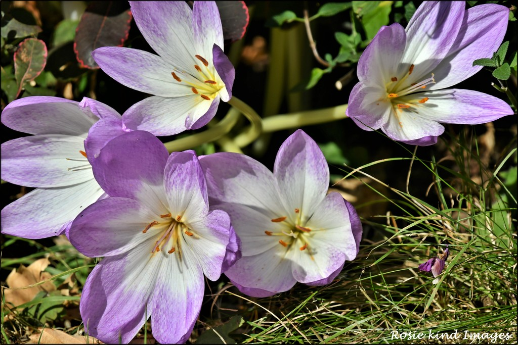 RK3_0433  Beautiful saffron by rosiekind