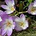 RK3_0433  Beautiful saffron
