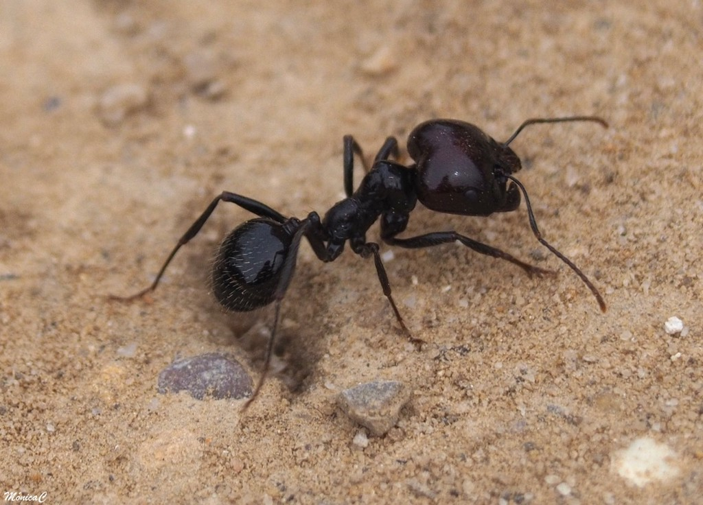 Ant by monicac