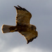 Marsh Harrier? by peadar