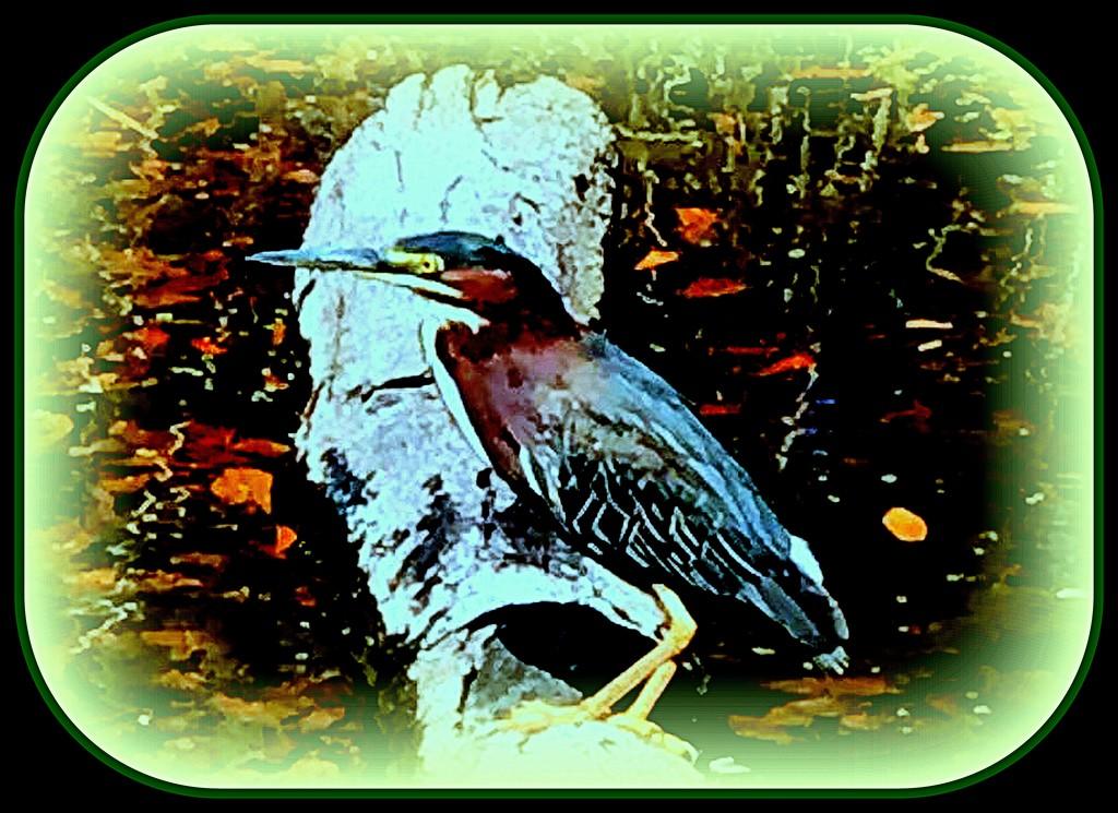 Green Heron by vernabeth