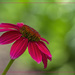 More Coneflowers