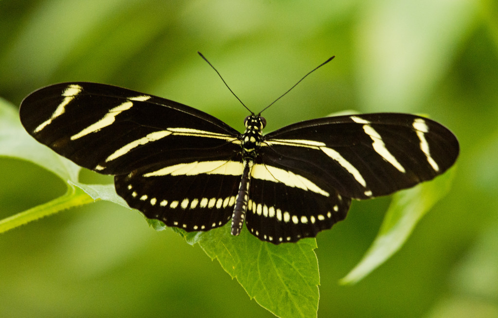 Zebra Longwing Butterfly! by rickster549