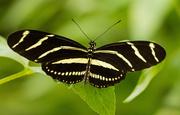 17th Sep 2019 - Zebra Longwing Butterfly!