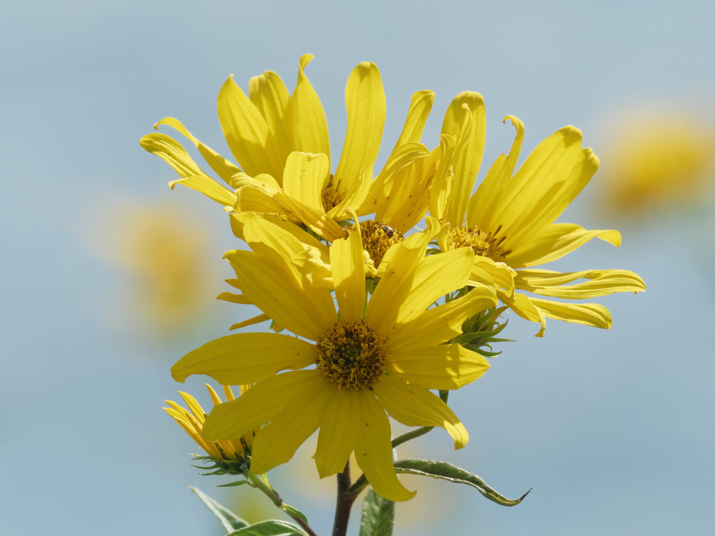 sunflower by rminer