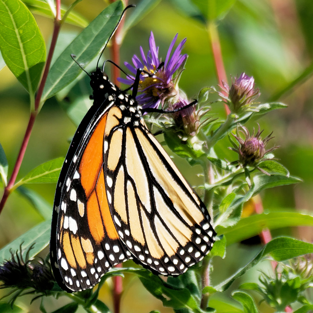 monarch on aster by rminer