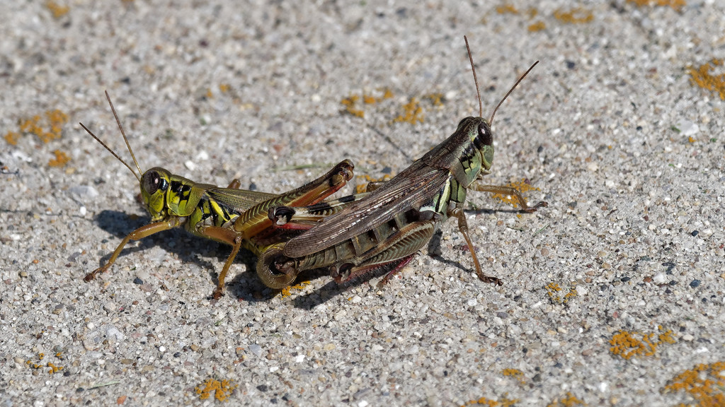 grasshoppers by rminer