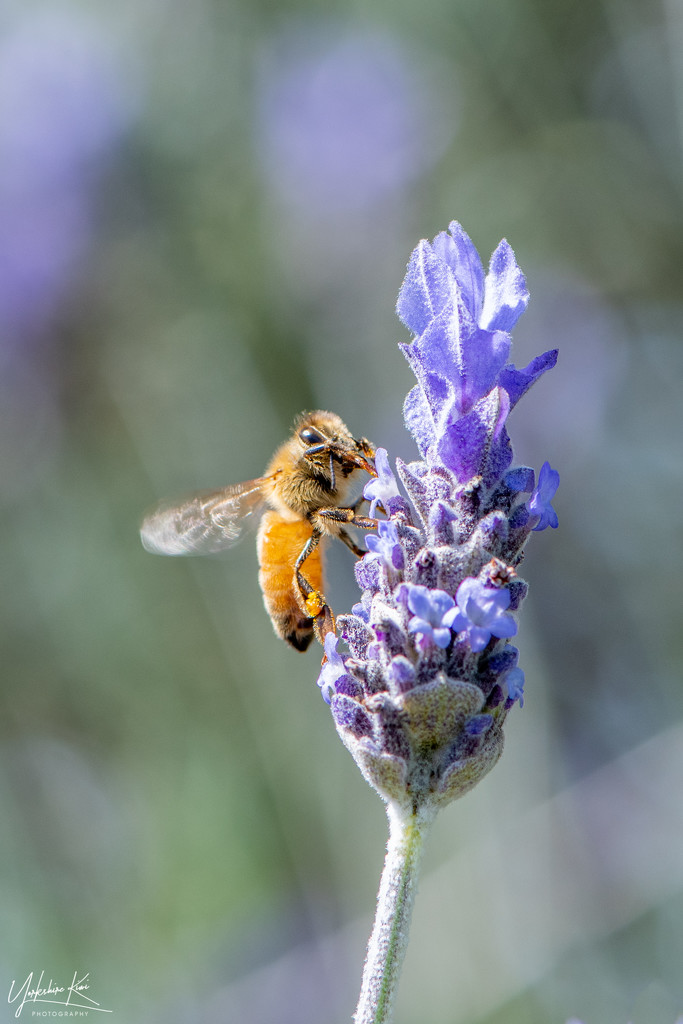 bee on lavender by yorkshirekiwi