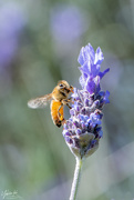 18th Sep 2019 - bee on lavender