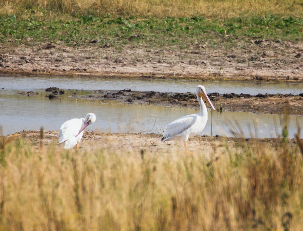 American White Pelican by aecasey