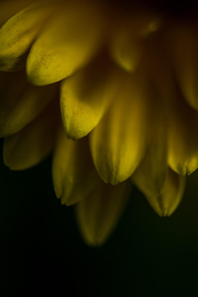 Yellow Flower by kwind