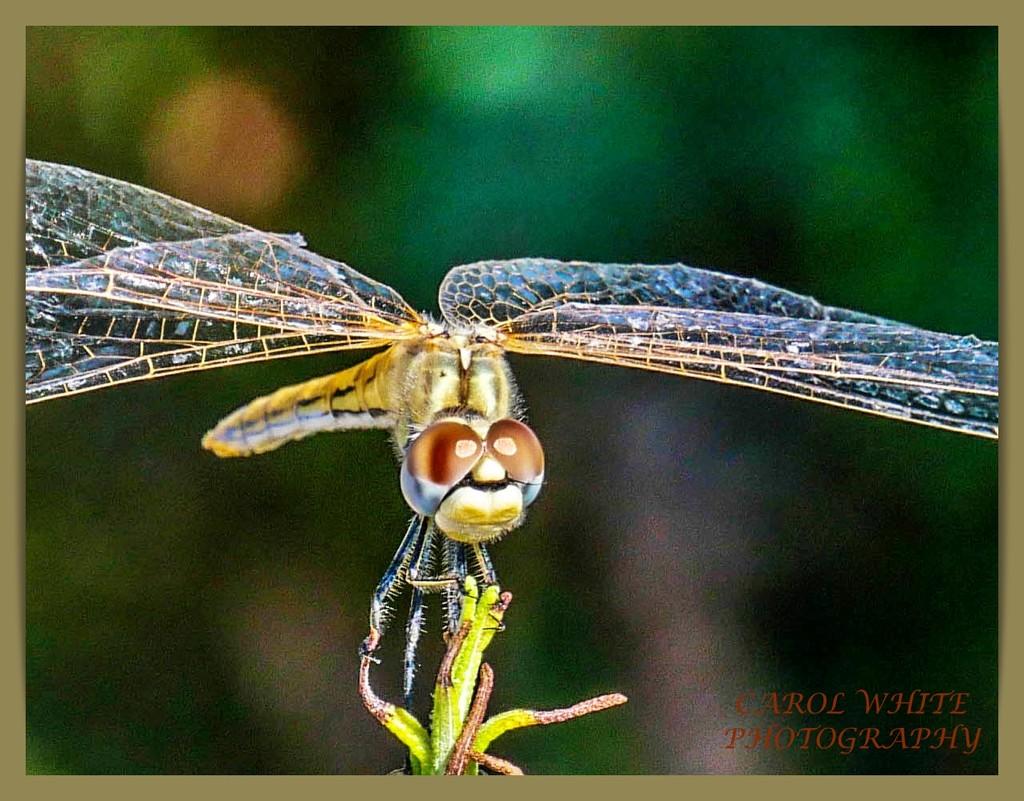 Dragonfly by carolmw