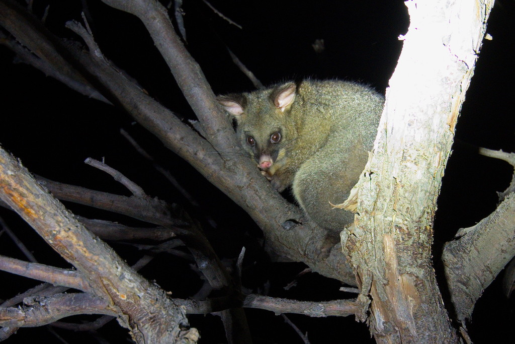 Common Bushtail Possum by kgolab