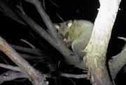 18th Sep 2019 - Common Bushtail Possum
