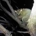 Common Bushtail Possum by kgolab