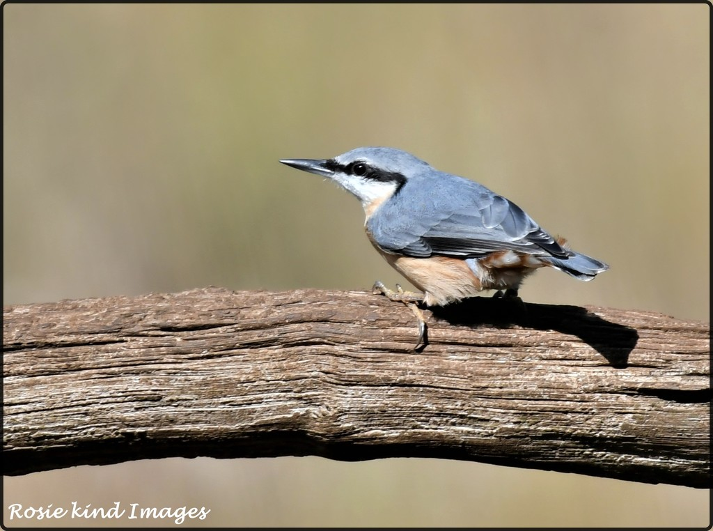 RK3_0667  Nuthatch by rosiekind