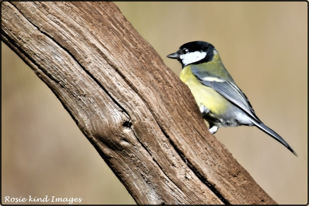 RK3_0636 Great tit by rosiekind