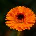 Orange flower by elisasaeter