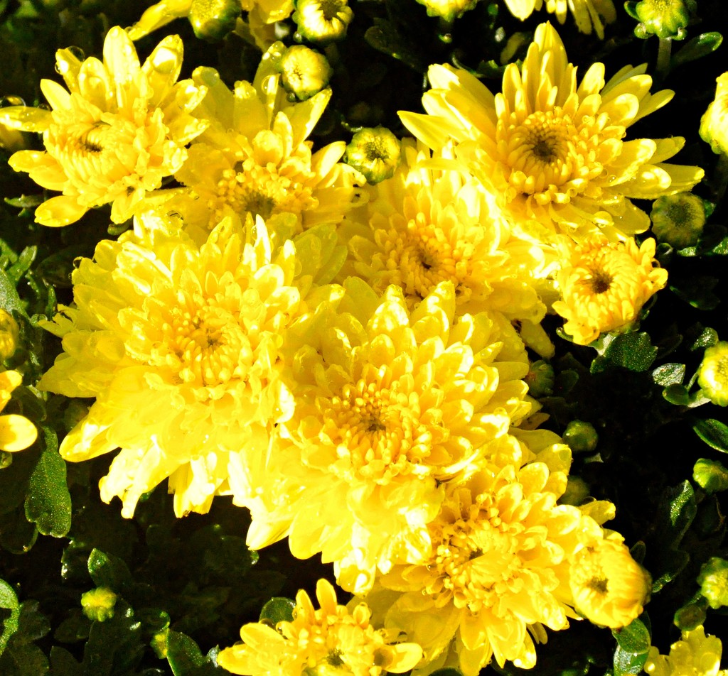Mums are blooming now by sailingmusic