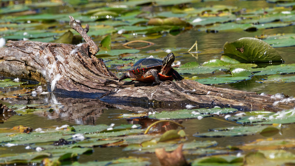 painted turtle on a floating log by rminer
