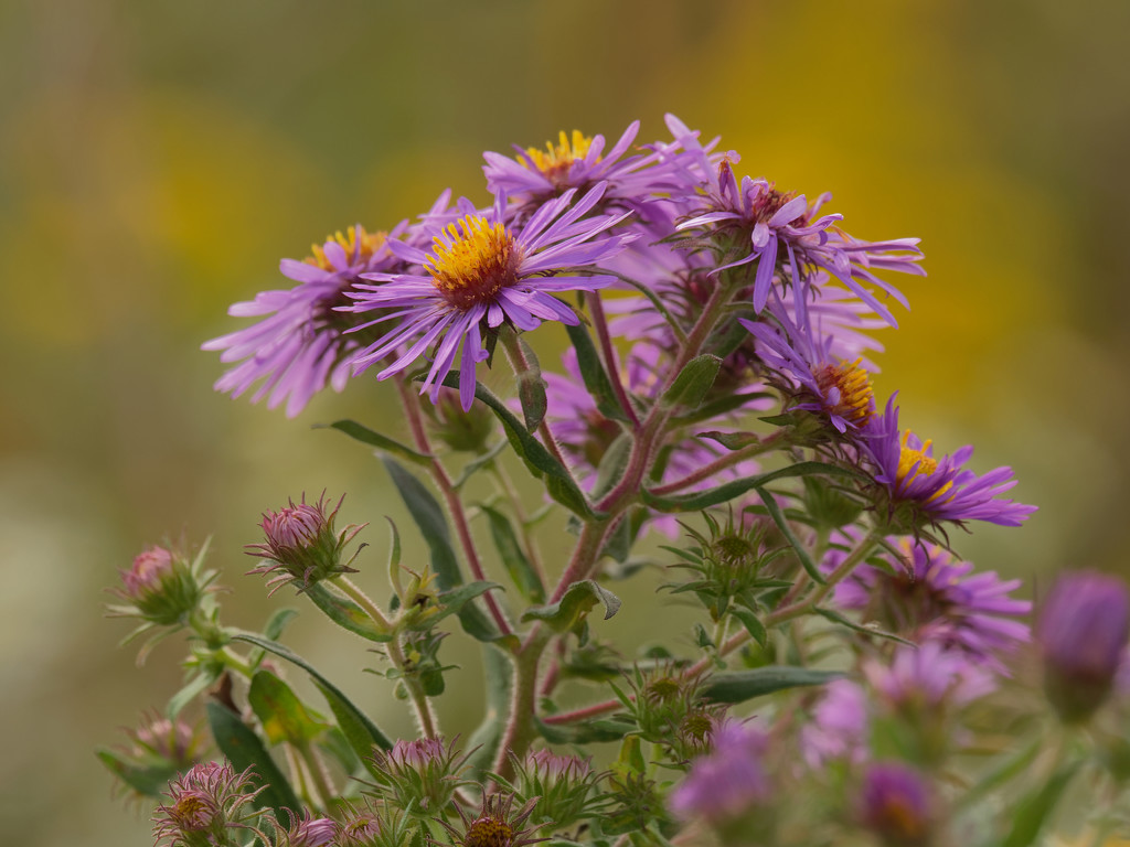 Golden New England Asters by rminer