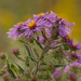 Golden New England Asters