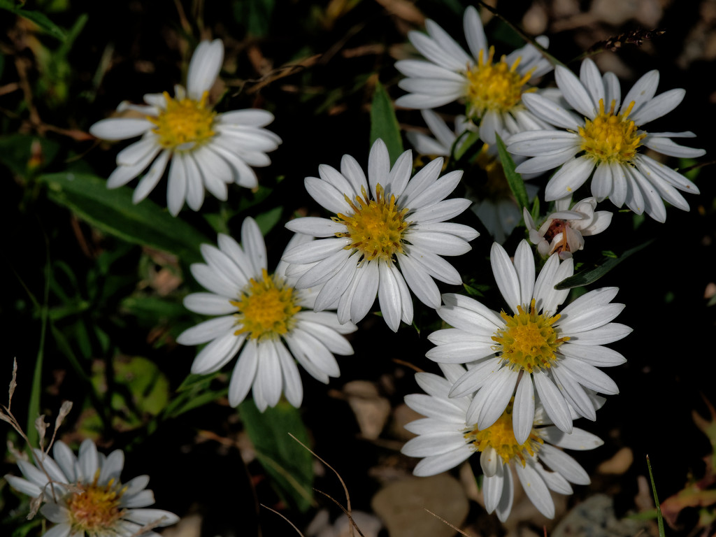 asters by rminer
