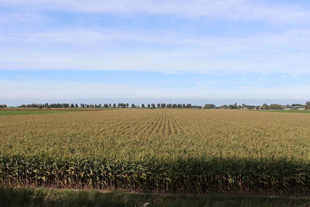 View on a cornfield by pyrrhula