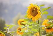 18th Sep 2019 - Sunflowers