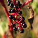 Pokeberries in the late afternoon light