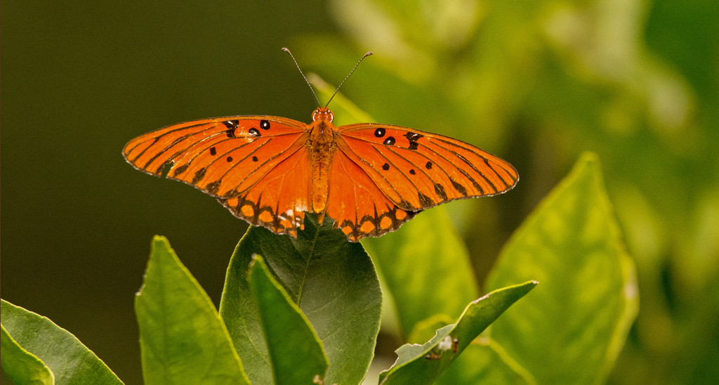 Gulf Fritillary Butterfly on the Orange Tree! by rickster549
