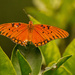 Gulf Fritillary Butterfly on the Orange Tree!