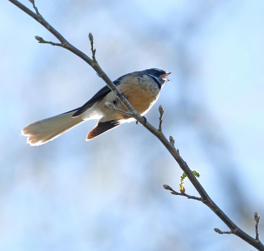 Spring singing by maureenpp