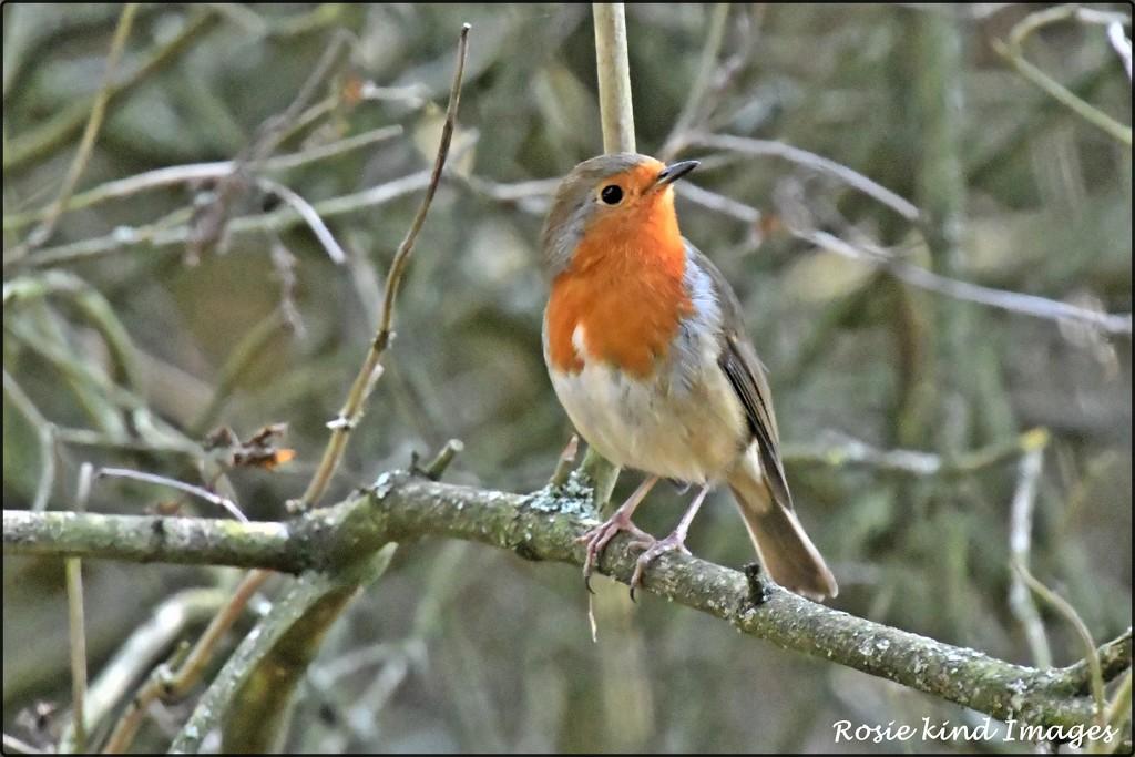 RK3_07930 Robin Redbreast rosie-pp by rosiekind
