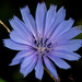 chicory with spider