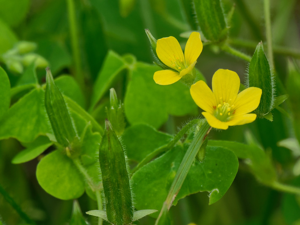 Upright Yellow Wood Sorrel by rminer