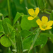 Upright Yellow Wood Sorrel