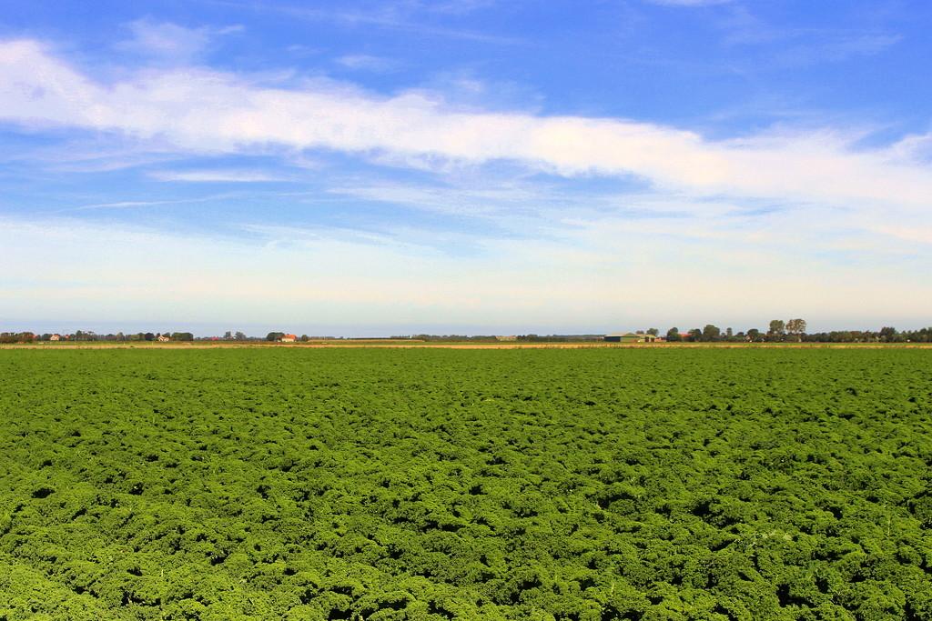 An other kale field, an other shot. by pyrrhula