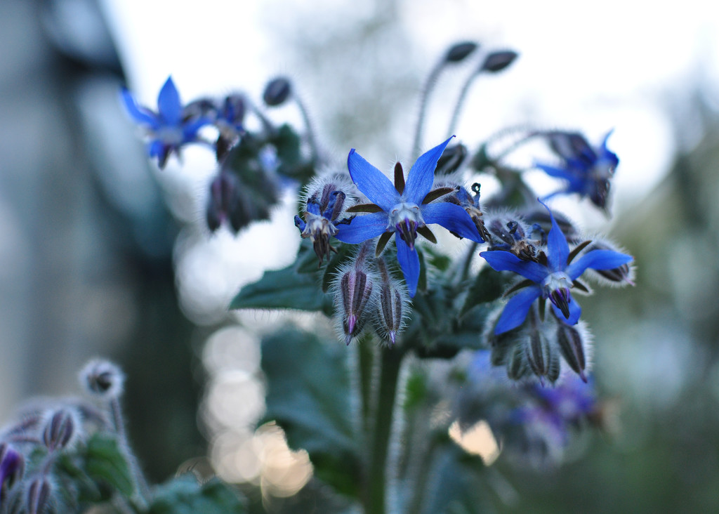 borage and bokeh by brigette