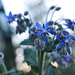 borage and bokeh