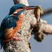 Kingfisher with fish by padlock