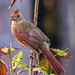 A Cardinal at her best by photographycrazy