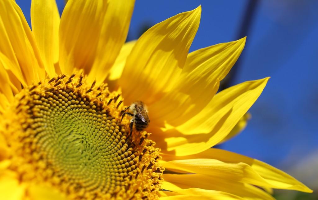 Sunflower by phil_sandford
