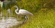 20th Sep 2019 - Egret Hunting for Breakfast!