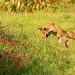Pouncing Fox by shepherdmanswife