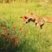 The Fantastic Mr Fox by shepherdman