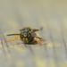 Wasp by ilovelenses