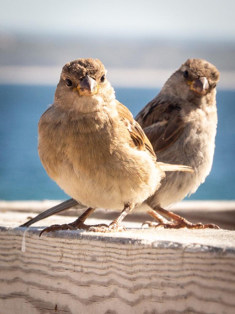 Little birds by swillinbillyflynn
